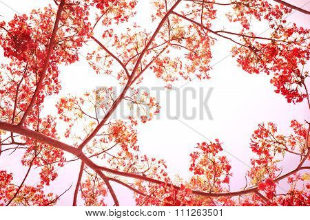 Sweet Color Tone Of Flam-boyant Flower Background