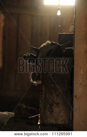 Cow In A Dark Barn