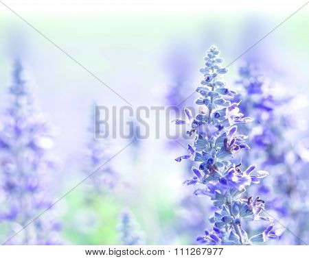 Close Up Beautiful Purple Blue Flower In Garden , Sage Plant (lat. Salvia Officinalis)