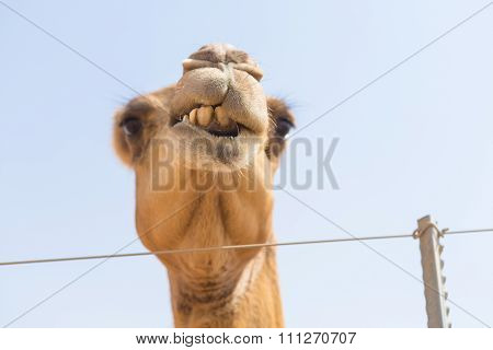 wild camel chewing plants in the hot dry middle eastern desert uae with blue sky