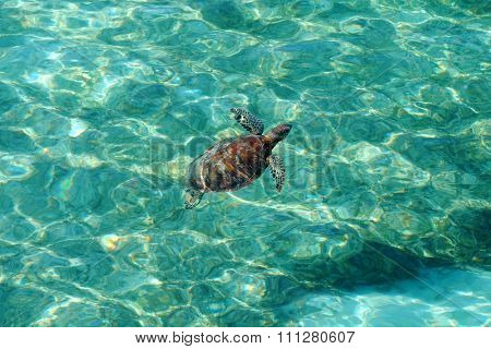 Green turtle swimming in the Pacific Ocean