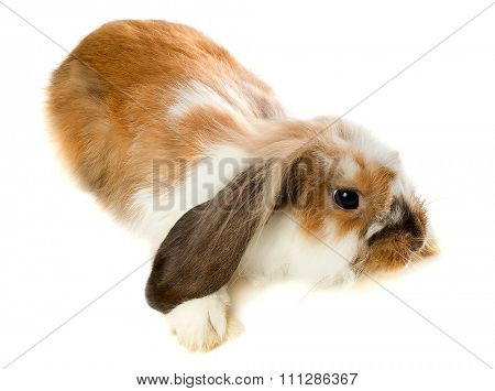 Brown lop-eared rabbit isolated on white