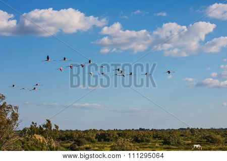 Large flock of gorgeous pink flamingos in free flight. Sunset in the national park of the Camargue, Provence