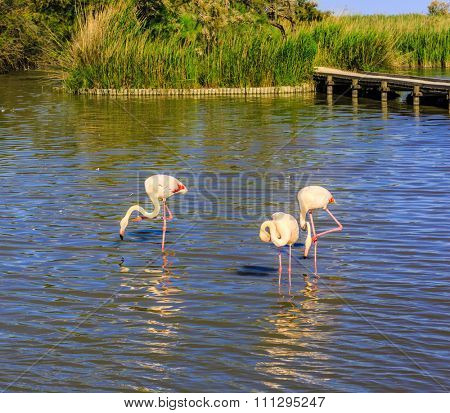 Flock of pink flamingos in the shallow channel. Sunset in the national park of Camargue in delta of Rhone