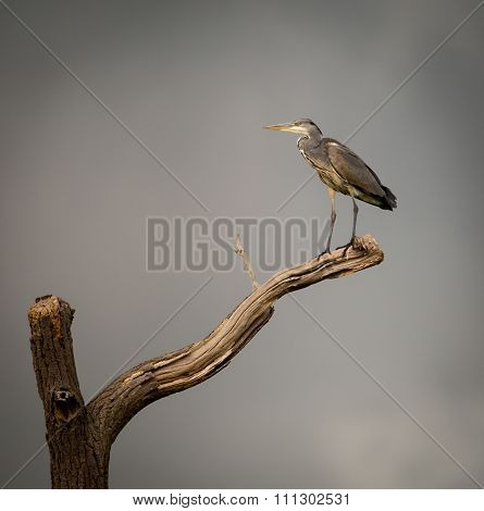 Grey Heron on isolated dying branch. (Ardeidae)