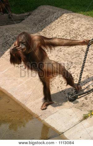 Orangutan, Pongo Pygmaeus Pygmaeus