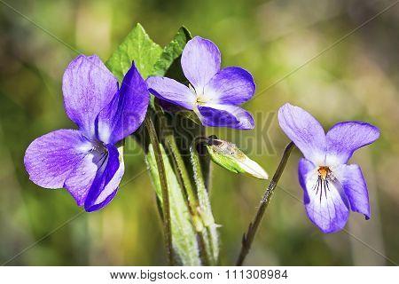 Wild medicinal plants in Siberia - Violet scented (Viola odorata)