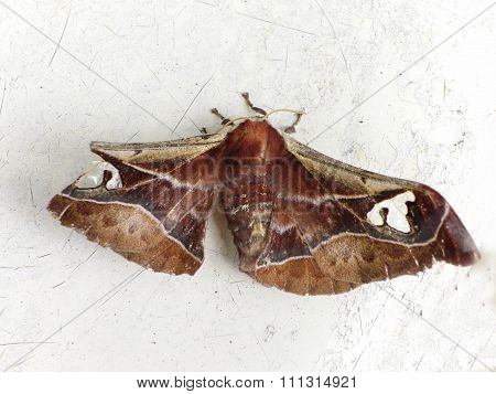 Variable Prince moth 2