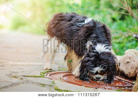 cavalier king charles spaniel dog drinking water from puddle on the walk in summer garden