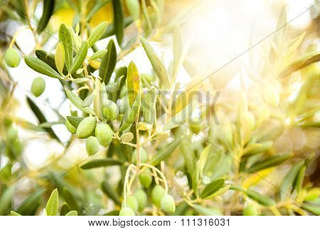 Olives On Olive Tree Branch.