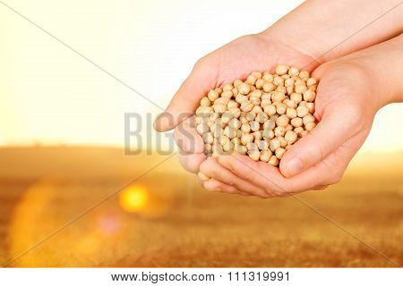 Soybean.