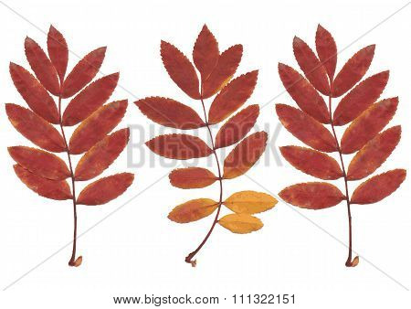 Real autumn rowan leaves, set from 3 red-yellow branches