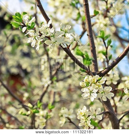 Branch Of Garden Plum In Blooming Period. Spring Is Coming