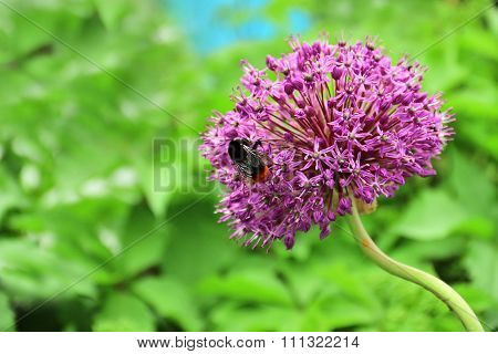 Purple Flower Of Allium With Shaggy Bumblebee Sitting On It