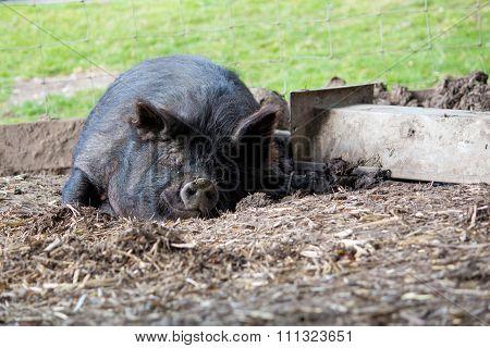 Sleeping black Guinea Hog