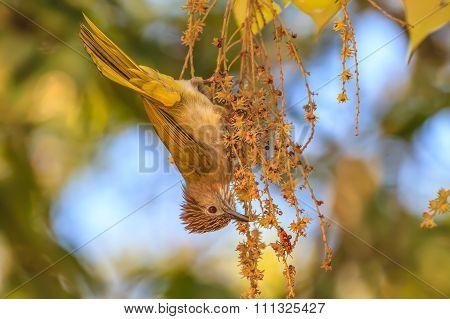 Mountain Bulbul ( Ixos Mcclellandii ) In Nature