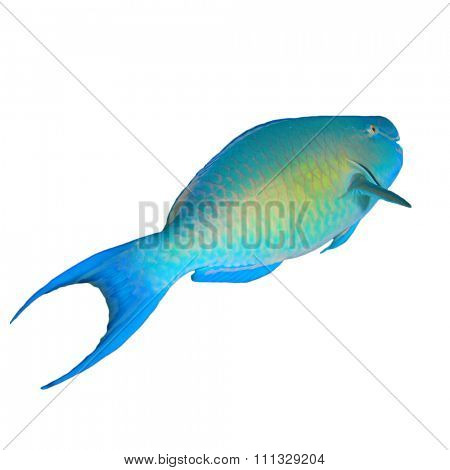 Parrotfish isolated cut out white background