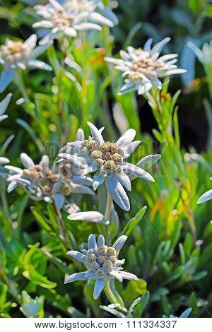 Ornamental garden plants - Alpine Edelweiss (Leontopodium)
