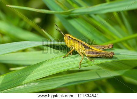 Little grasshopper in a green jungle