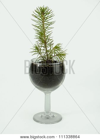 small fir-tree in a shot glass