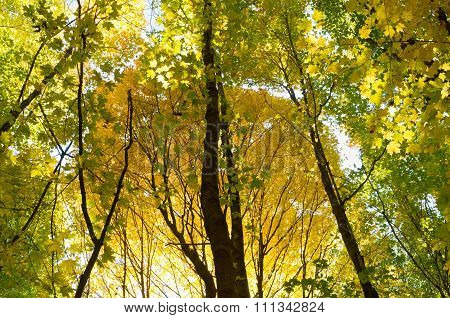Golden Autumn Glow Of Forest Canopy