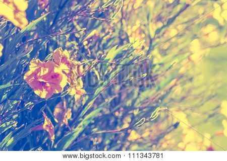 Abstact Background Of Ruellias Flower In Garden With Sunlight In The Morning,vintage Toning,selectiv