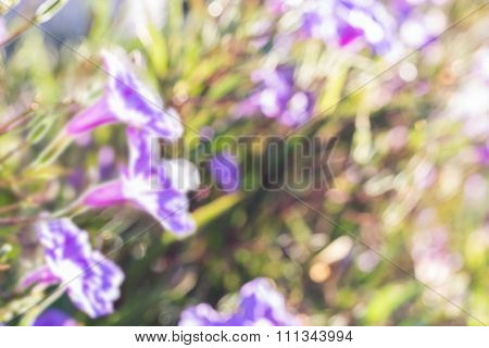 Abstact Blurred Background Of Ruellias Flower In Garden With Sunlight In The Morning