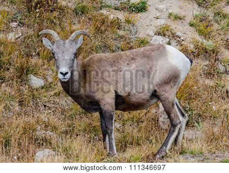 Face Of Sheep On Mount Evans