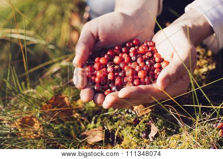 Man Picking Cranberries In The Woods.
