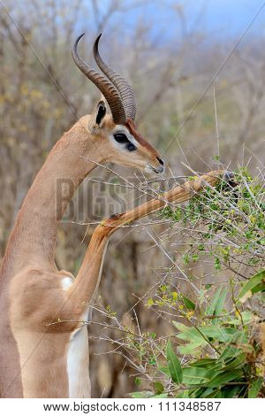 Gerenuk Standing Upright To Reach Leaves