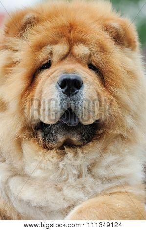Portrait Brown Chow Chow Dog