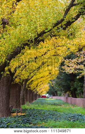 Golden yellow Ginkgo trees in public park