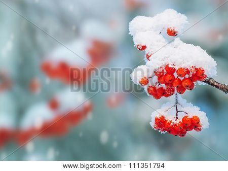 Rowan in the snow