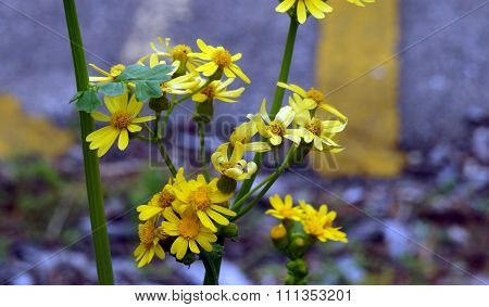 Golden Ragwort Flowers