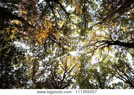 Sun-illuminated Top Of Golden-leaved Trees