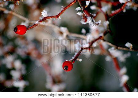 Rosehip frozen
