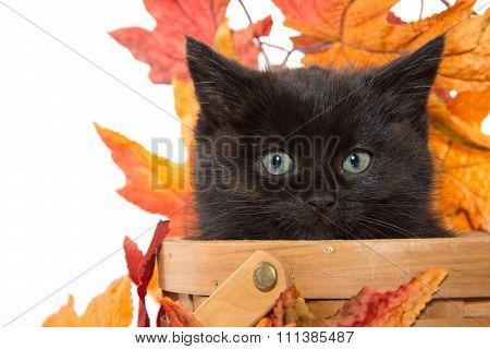 Black Kitten And Fall Leaves