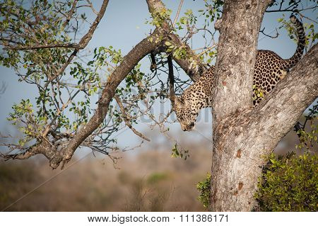 Leopard Climbing Down A Tree