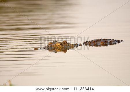 Nile Crocodile At Water Hole