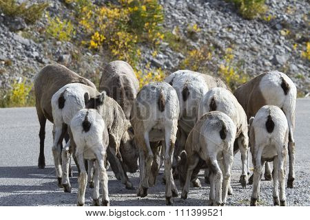 Amusing Flock Of Bighorn Sheep With Rear Views
