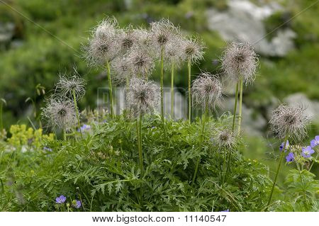 Alpine Pasque Flower Seeds