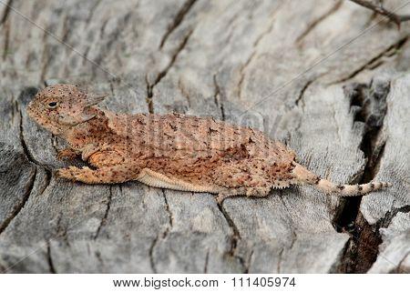 Round-tailed Horned Lizard (phrynosoma Modestum)