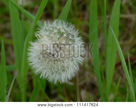 Dandelion ready to seed