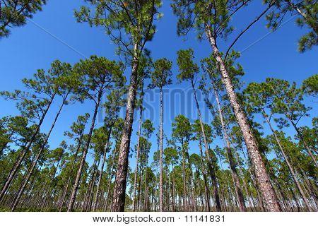 Pine Flatwoods - Florida