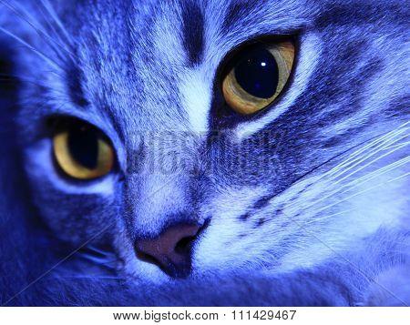 Muzzle Of Scottish Straight Cat