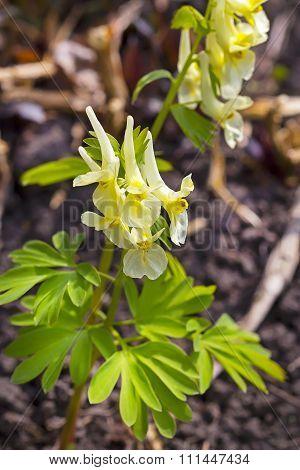 Pritsvetnikovaya Corydalis (Corydalis bracteata (Stephan) Pers.)