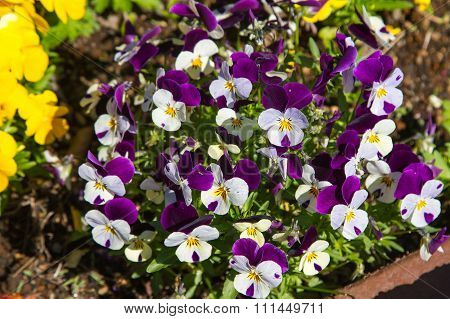Viola and yellow tricolor pansy, flower bed bloom in the garden.
