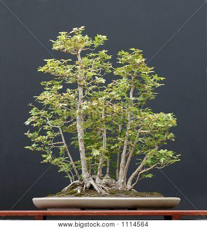Field Maple Bonsai