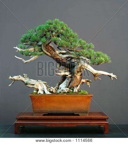 Mugo Pine Bonsai With Deadwood