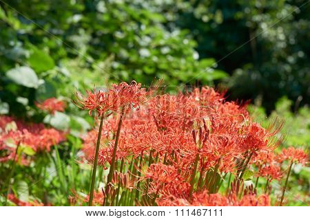Closeup Of Cluster-amaryllis